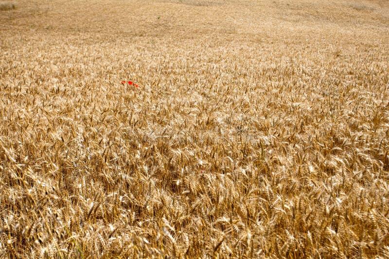 Campo de trigo con la amapola roja fotos de archivo