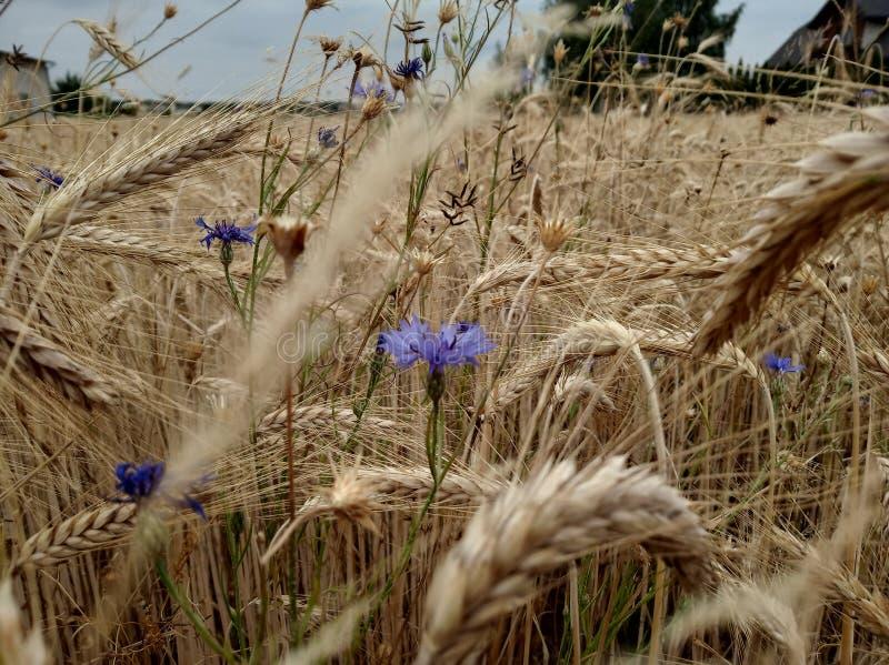 Campo de trigo da cor dourada, orelhas da grão, colhendo flores selvagens das centáureas nos campos fazendo o pão de imagens de stock royalty free