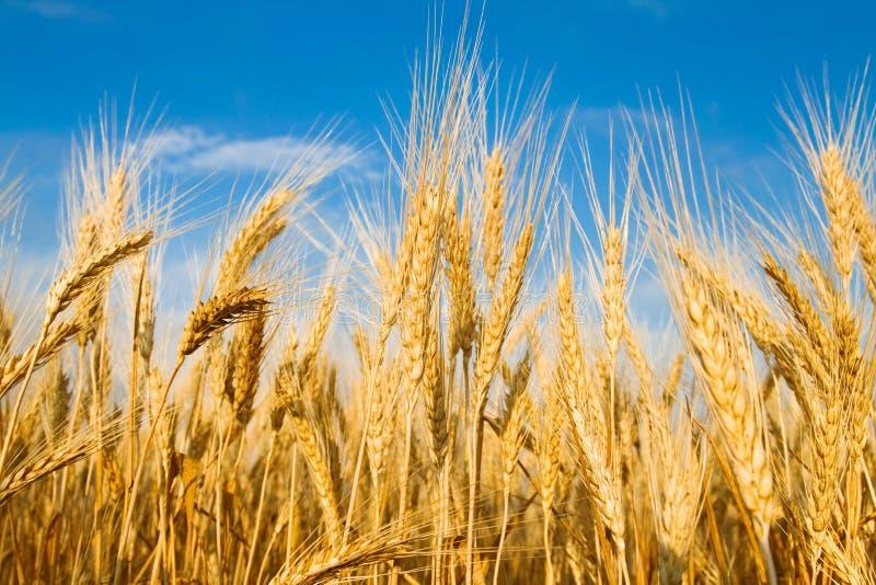 Campo de trigo de oro foto de archivo libre de regalías