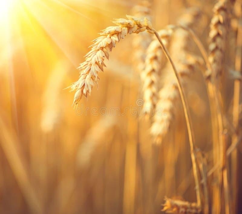 Campo de trigo de oro Oídos del primer del trigo imagen de archivo