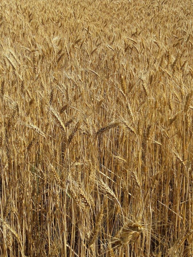 Campo de trigo del oro imágenes de archivo libres de regalías