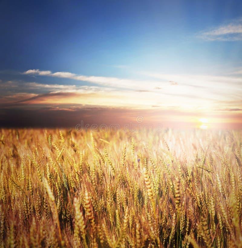 Campo de trigo do ouro foto de stock