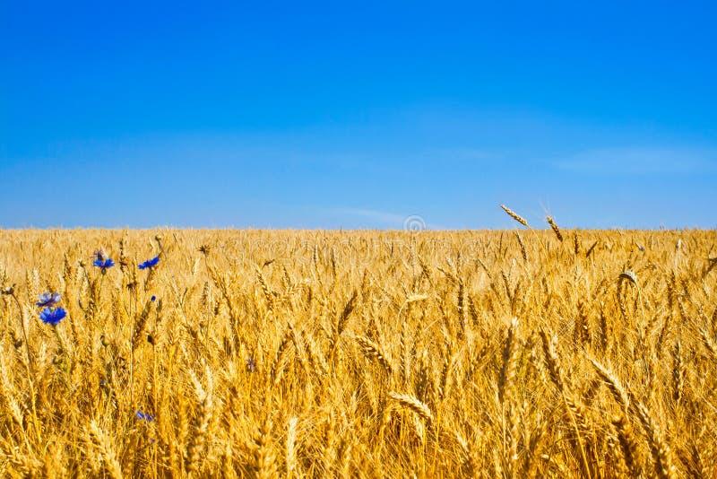 Campo de trigo do ouro fotografia de stock