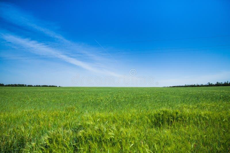 Campo de trigo do verde vívido sobre o céu azul, natureza imagem de stock royalty free