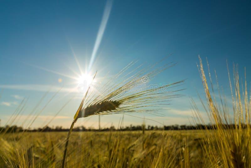 Campo de trigo do verde vívido sobre o céu azul, natureza fotografia de stock royalty free