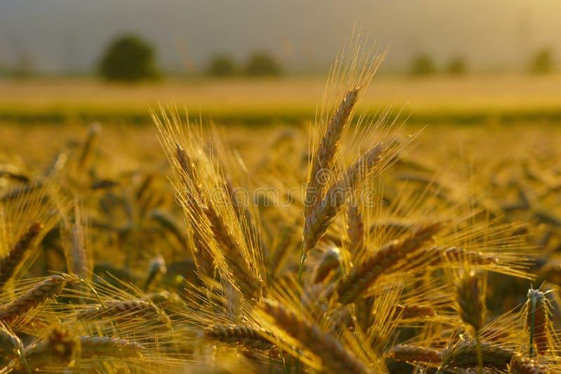 Campo de trigo dourado fotos de stock royalty free