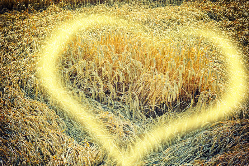 Campo de trigo dourado com elemento ensolarado do coração imagens de stock royalty free