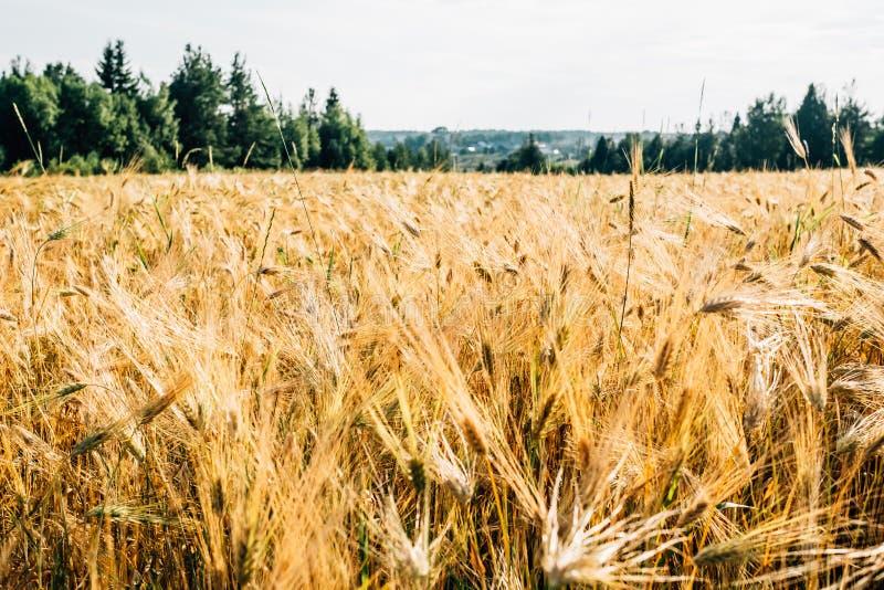Campo de trigo dourado com floresta verde foto de stock