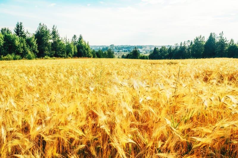 Campo de trigo dourado com floresta verde fotografia de stock royalty free