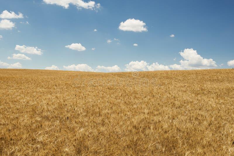 Campo de trigo dourado com um céu azul com algumas nuvens brancas foto de stock