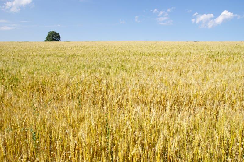 Campo de trigo dourado com a uma árvore grande imagens de stock