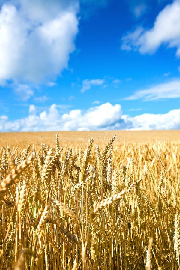 Campo de trigo dourado de encontro ao céu azul foto de stock royalty free