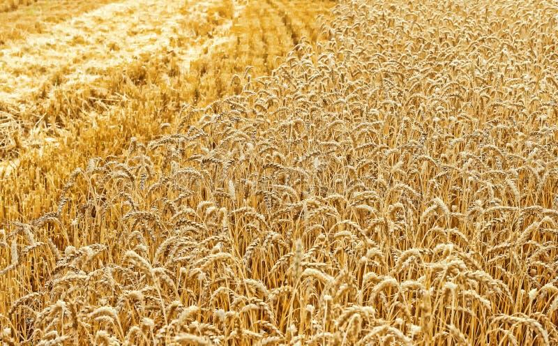 Campo de trigo dourado durante a colheita no fim do verão Colheita Campo de cereal imagens de stock