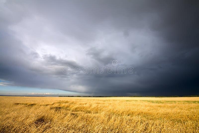 Campo de trigo dourado e céu nebuloso fotos de stock
