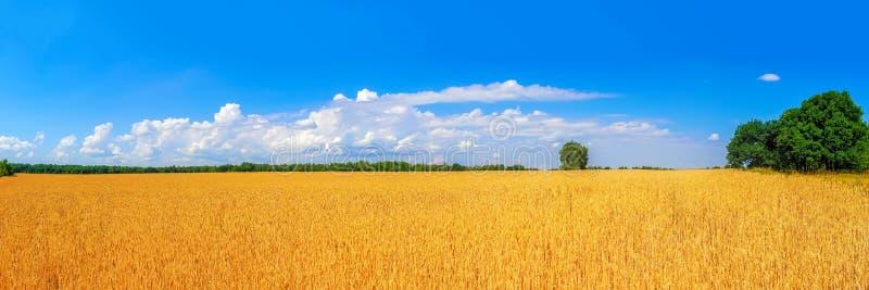 campo de trigo dourado maduro pelo panorama do verão fotos de stock