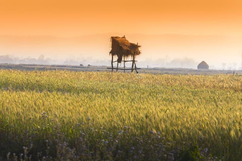 Campo de trigo dourado na hora dourada fotos de stock royalty free