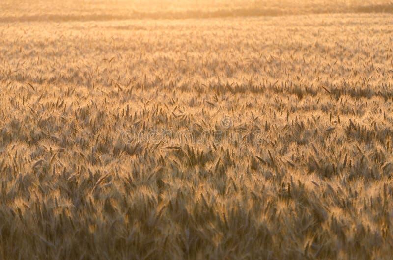 Campo de trigo dourado na manhã imagem de stock