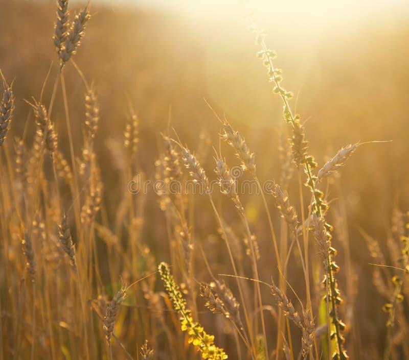 Campo de trigo dourado Orelhas do trigo sobre o prado no w dourado fotos de stock