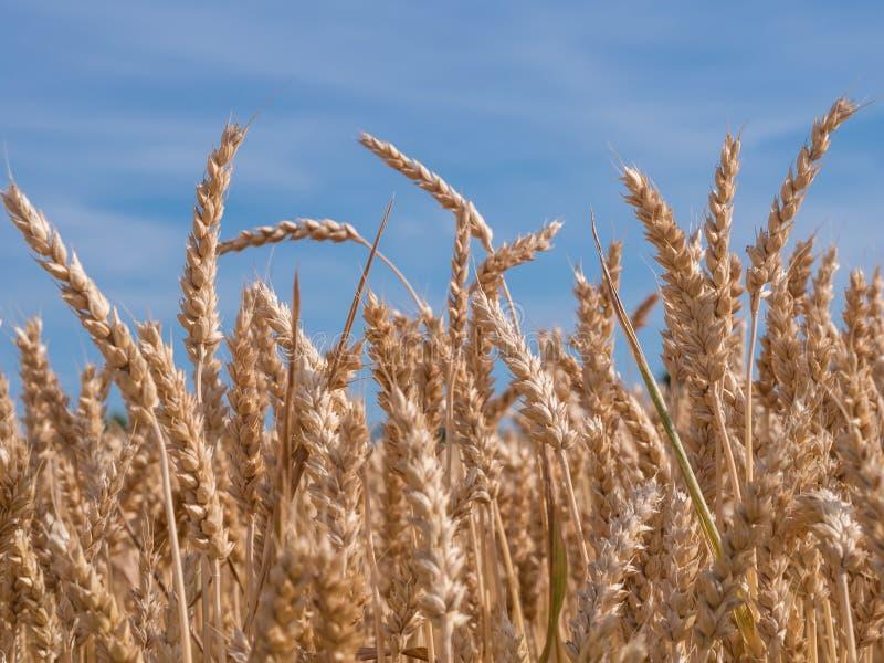 Campo de trigo dourado pronto para colher agains um céu azul, claro imagens de stock royalty free