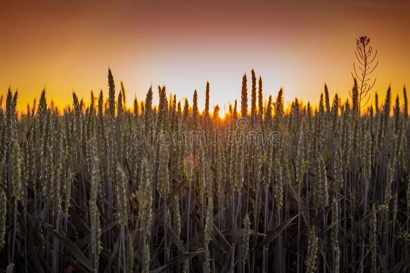 Campo de trigo durante salida del sol Puntos del trigo en el cielo del fondo foto de archivo libre de regalías