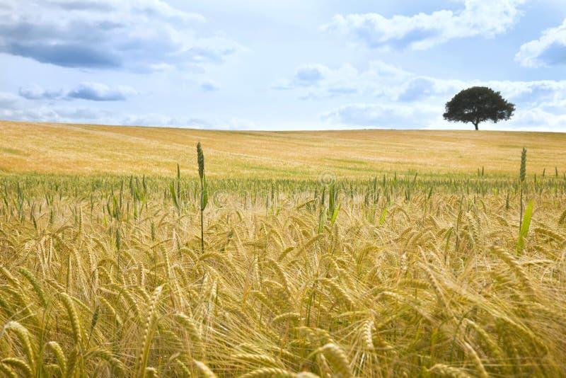 Campo de trigo e de árvore no horizonte fotografia de stock