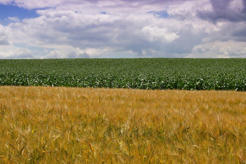 Campo de trigo e campo de milho no verão fotografia de stock royalty free