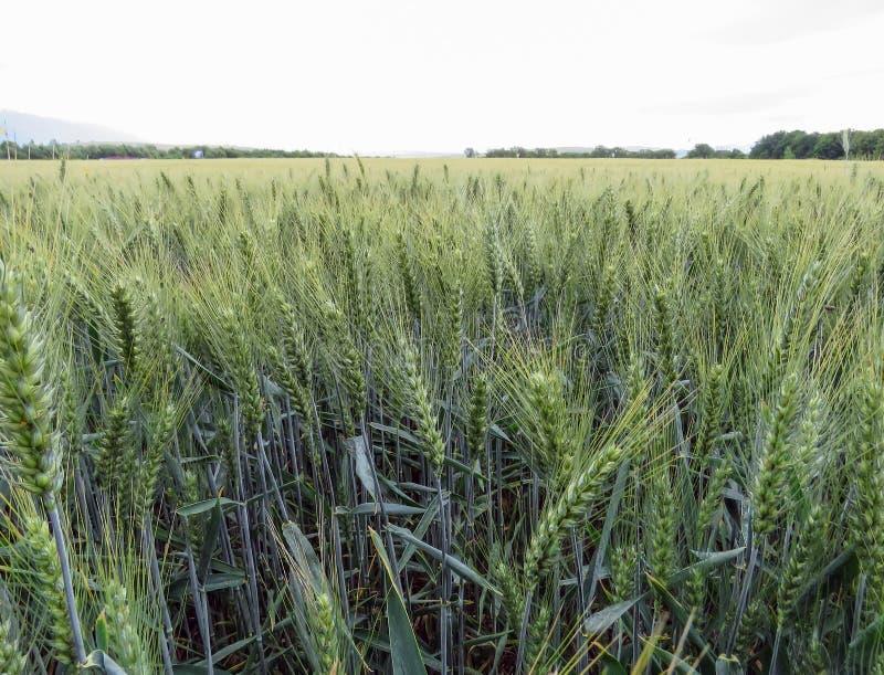 Campo de trigo em Eslováquia fotos de stock