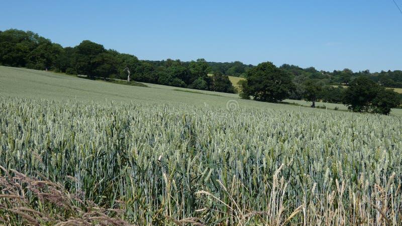 Campo de trigo em Inglaterra para o solstício de verão 2019 12 fotografia de stock royalty free