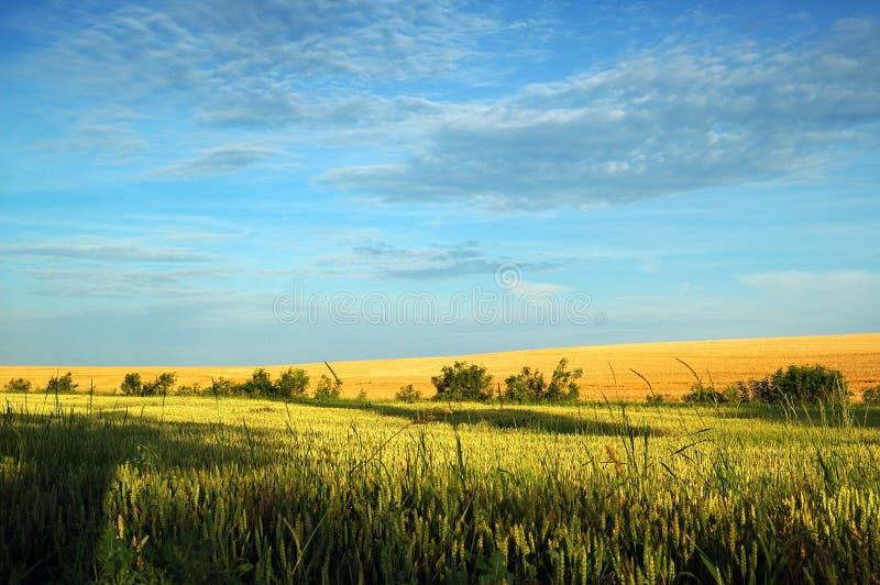 Campo de trigo em Luz Bonita imagem de stock