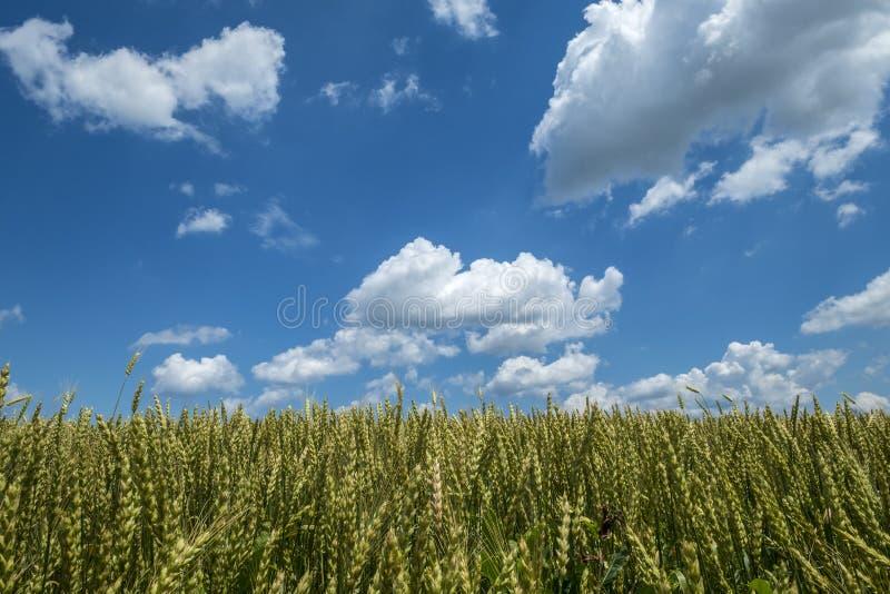 Campo de trigo em Sunny Day With Blue Sky e nas nuvens 1 do branco fotografia de stock royalty free