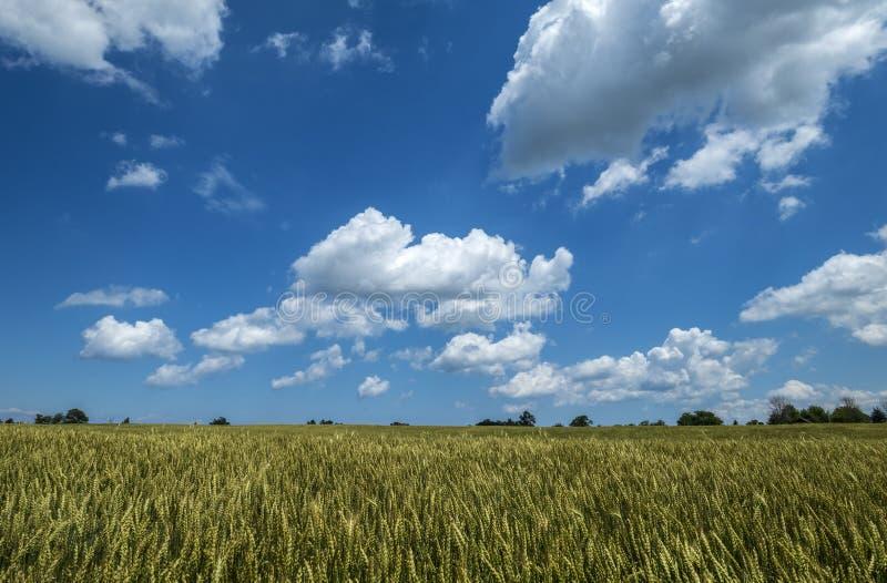 Campo de trigo em Sunny Day With Blue Sky e nas nuvens 4 do branco foto de stock