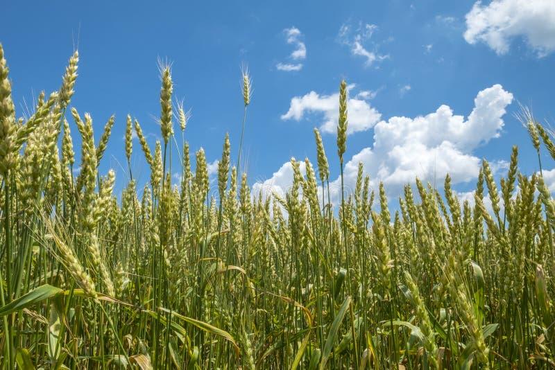 Campo de trigo em Sunny Day With Blue Sky e nas nuvens 5 do branco imagens de stock