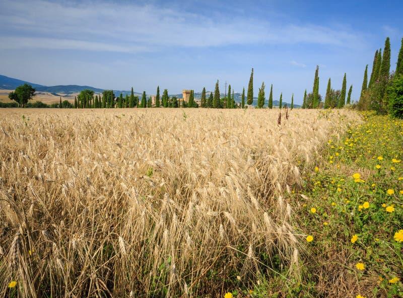 Campo de trigo em Toscânia, Itália logo a ser colhido imagem de stock royalty free