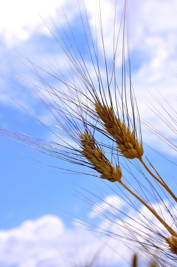 Campo de trigo em Toscânia, Italy fotografia de stock royalty free