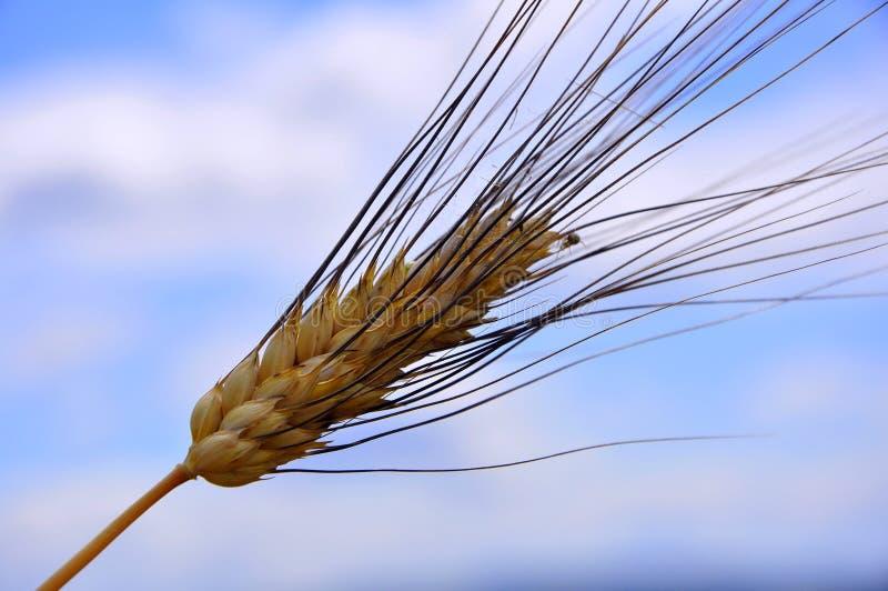 Campo de trigo em Toscânia, Italy imagens de stock royalty free
