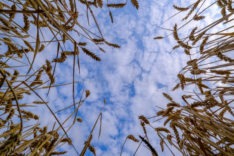 Campo de trigo en Alemania fotografía de archivo