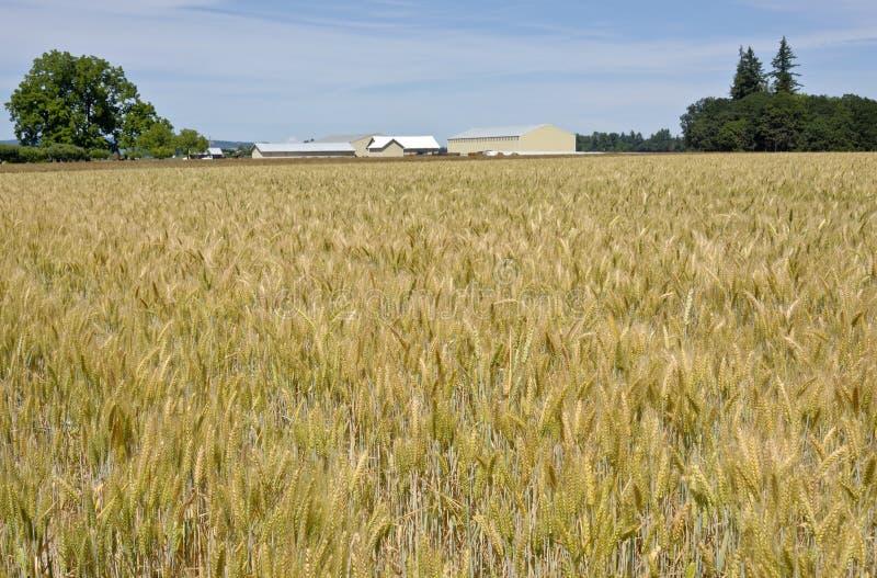 Campo de trigo en el valle del willamette foto de archivo libre de regalías