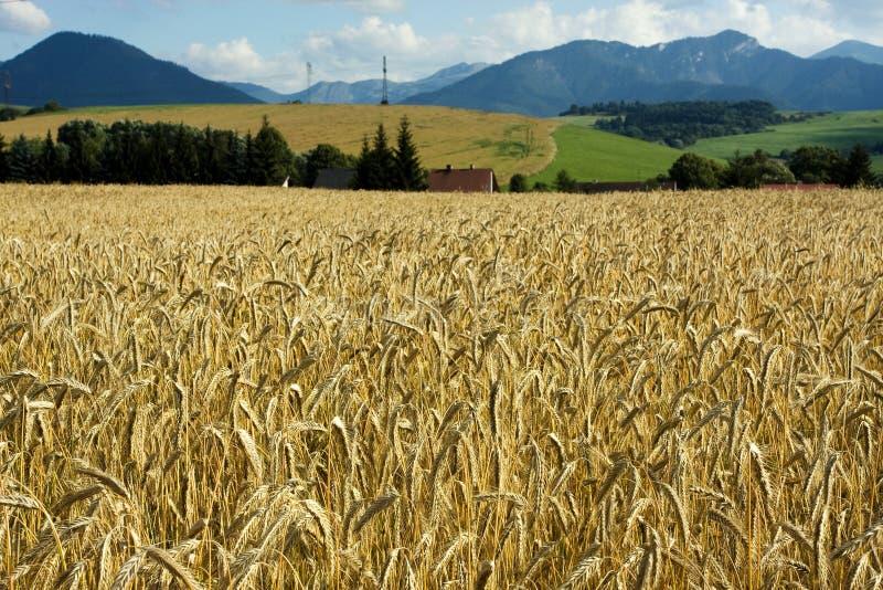 Campo de trigo en el viento con el cielo azul foto de archivo