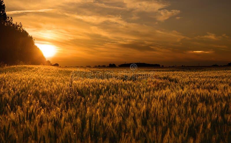 Campo de trigo en la puesta del sol fotografía de archivo