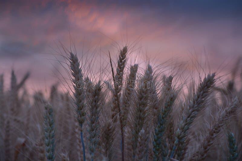 Campo de trigo en la puesta del sol dramática imágenes de archivo libres de regalías