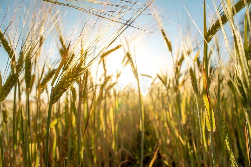Campo de trigo en la puesta del sol Paisaje de igualación hermoso con las espiguillas fotos de archivo libres de regalías