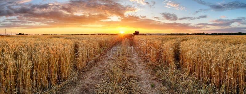 Campo de trigo en la puesta del sol, panorama imágenes de archivo libres de regalías