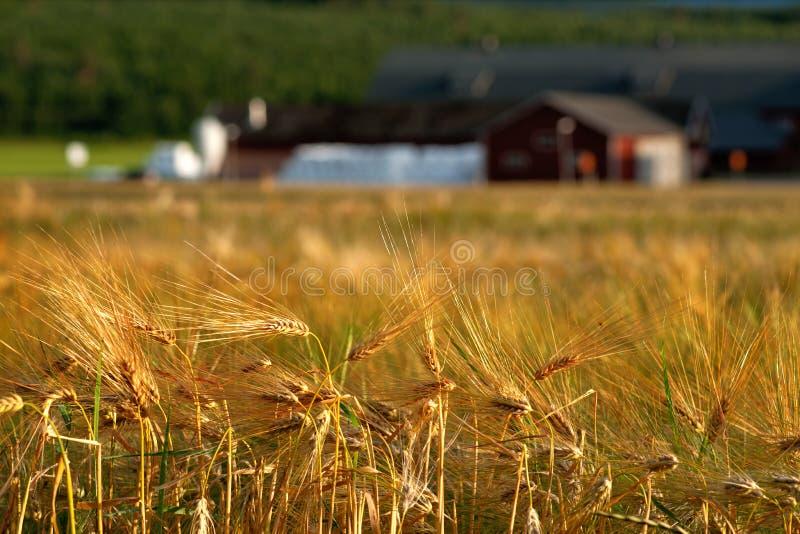 Campo de trigo en luz de la tarde fotos de archivo