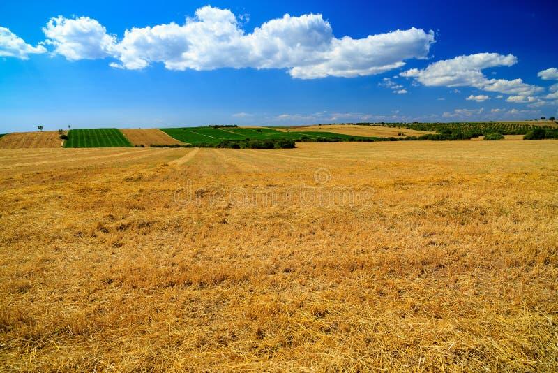 Campo de trigo en verano foto de archivo