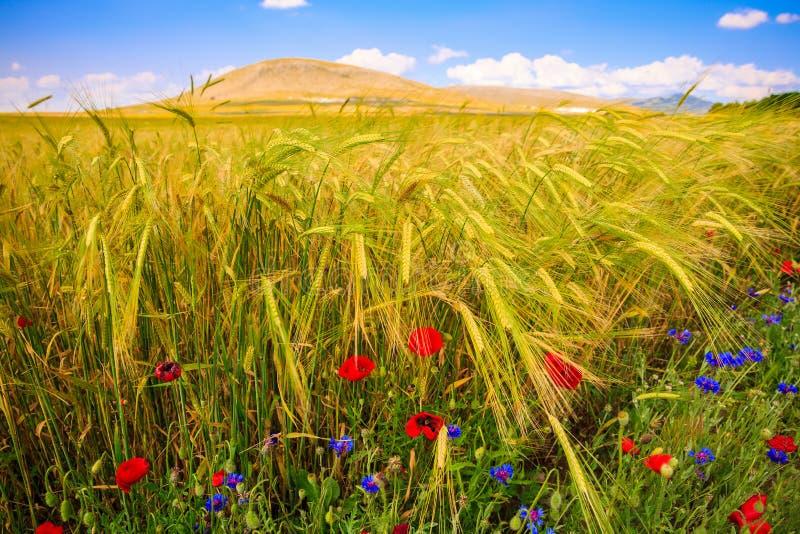 Campo de trigo en verano fotos de archivo
