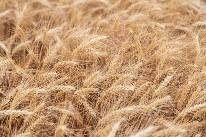 Campo de trigo, fondo amarillo claro natural de los oídos foto de archivo