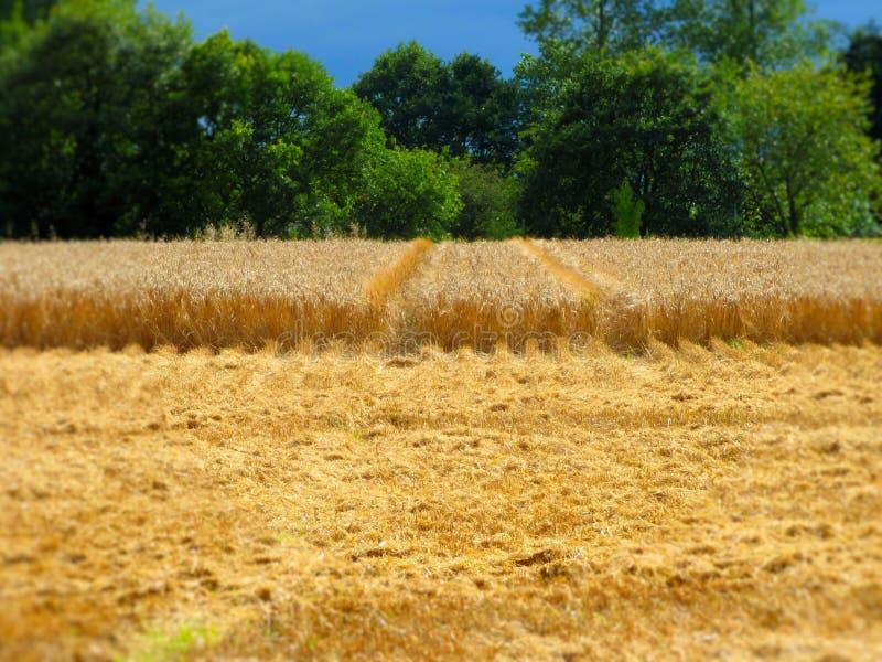 Campo de trigo fresco do corte fotos de stock