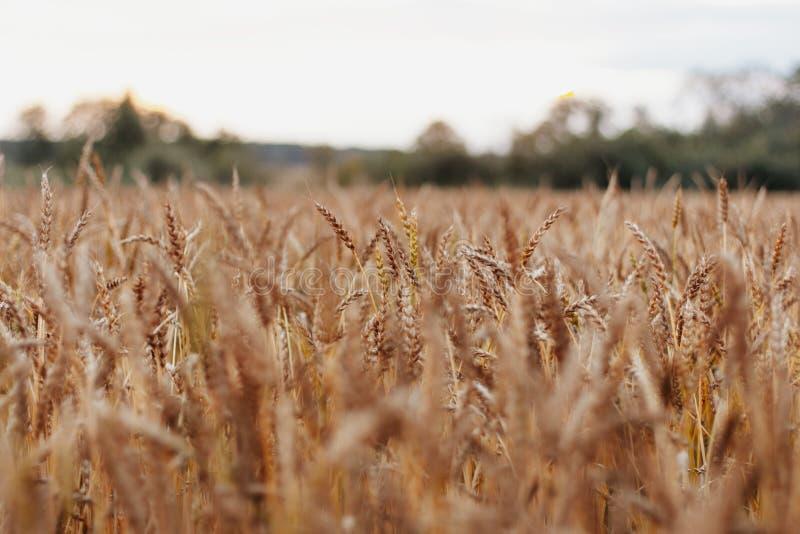 Campo de trigo hermoso en Rusia en el fondo natural de la puesta del sol, cierre para arriba imagenes de archivo