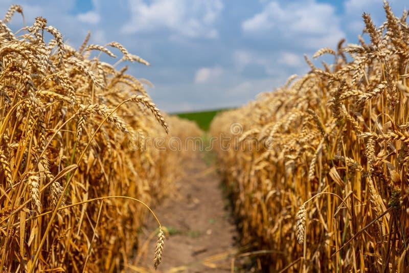 Campo de trigo hermoso en un día soleado Paisaje ucraniano de la cosecha de grano imagen de archivo libre de regalías