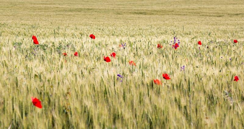 Campo de trigo hermoso por completo de amapolas en el verano fotos de archivo libres de regalías